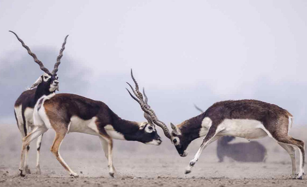 Witness Black buck at Gajner Wildlife Sanctuary