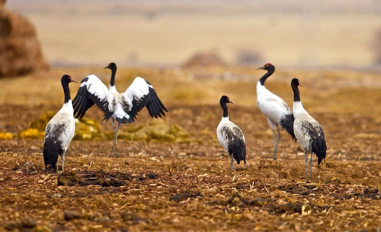Explore Black necked cranes centre