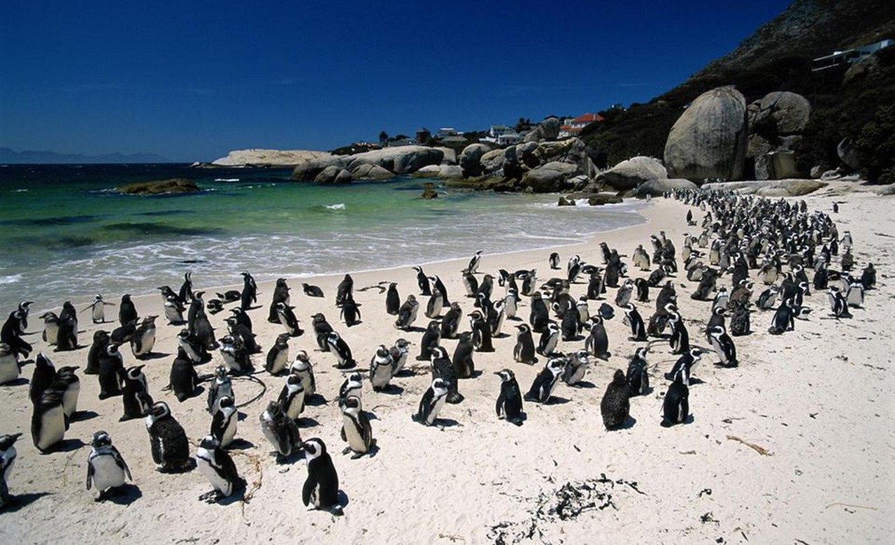 Penguins at Boulders BeachResize1280 x 780.jpg