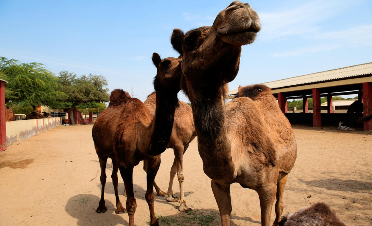 Camel Research Farm