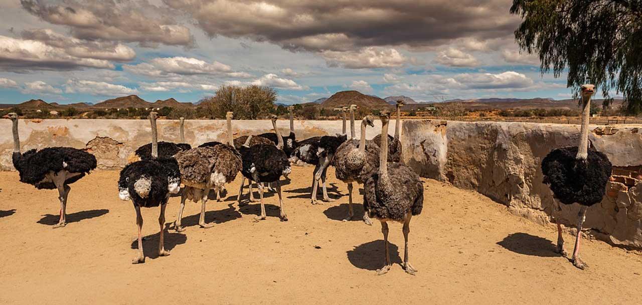 Ostrich Farm Tours
