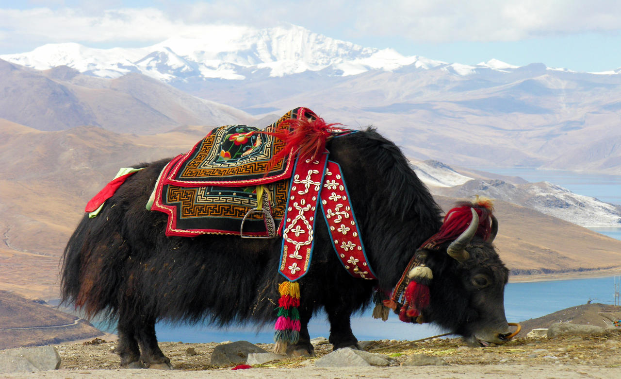 Go for a Yak safari