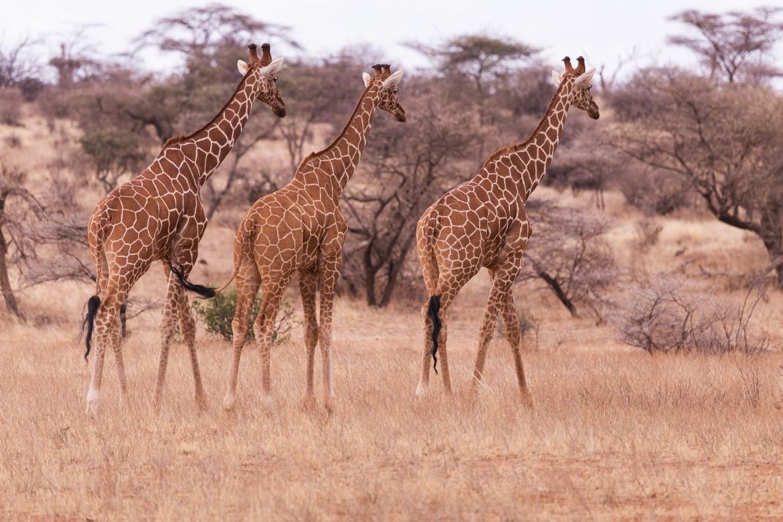 National Park Giraffe