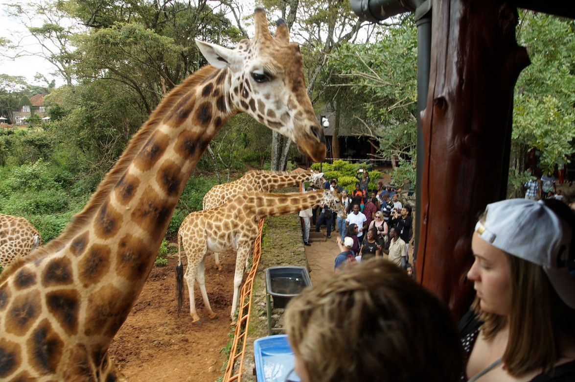 Giraffe centre4