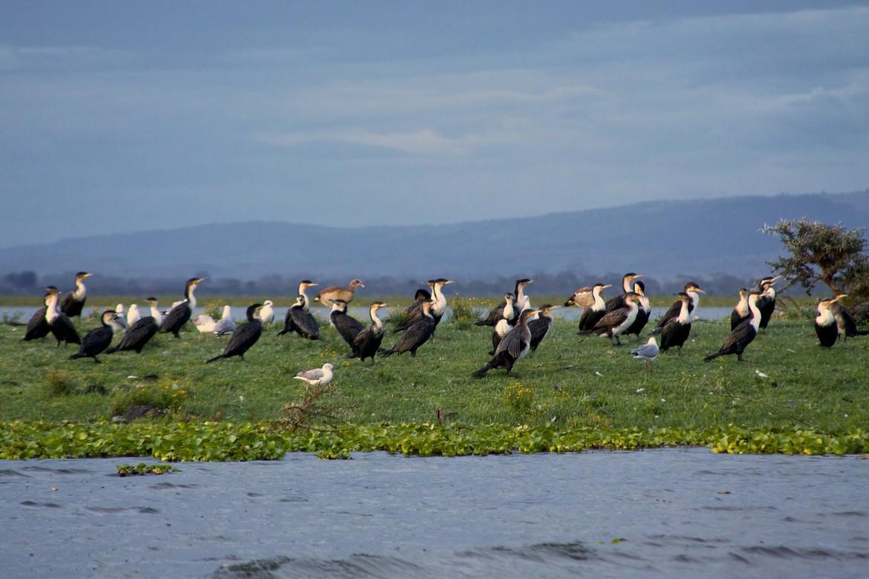 Cormorants on Lake Naivesha