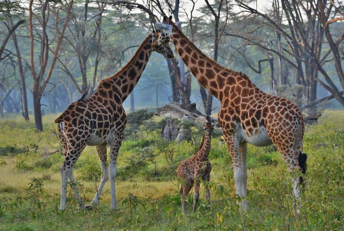 Giraffes at Lake Nakuru
